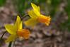 Narcissus 'Itzim' (Eric Hunt.) Tags: orange flower yellow bulb daffodil narcissus amaryllidaceae geophyte narcissusitzim