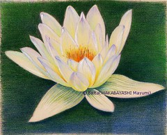 2012_12_08_waterlily_04_s (blue_belta) Tags: flower art sketch waterlily drawing 花 coloredpencil 色鉛筆 睡蓮 スケッチ