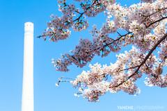 Contrast / Tokyo, Japan (yameme) Tags: travel flowers nature japan canon eos tokyo  sakura shinagawa cherryblossoms    meguro    24105mmlis  5dmarkii 5d2