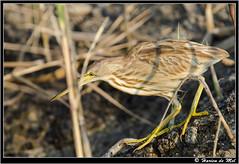 Yellow Bittern (Harien De Mel) Tags: bird yellow srilanka bittern resident yellowbittern muthurajawela lxobrychussinensis