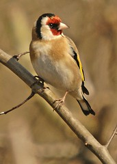 a goldfinch - one of the UK's most colourful birds. (GVG Imaging) Tags: d2x warwickshire sigma50500mm hamshall ladywalknaturereserve