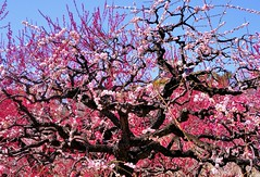 Full bloom in Osaka Castle (Giovanni88Ant) Tags: pink spring osaka ume osakacastle