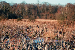 redwinger (BryanBowman) Tags: bird film nature 35mm photography swamp