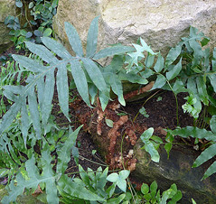 Bear's-paw Fern (Phlebodium aureum) (Tiggrx) Tags: kewgardens fern london polypodiaceae princessofwalesconservatory pteridophyte phlebodiumaureum goldenpolypody polypodiumaureum bearspawfern