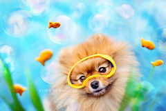 3/12....under the sea (Pomaroo) Tags: ocean sea dog fish water aquarium pom underwater goldfish goggles bubbles scuba diving snorkeling cracker pomeranian flint 12monthsfordogs13