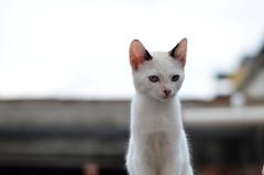 # Cat (Carlos Fachini ™) Tags: brazil animal animals branco brasil cat 50mm nikon day sãopaulo gato felinos animales