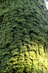 030 (rupeegroupie) Tags: green nature moss mossy