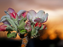 Apple tree blossom at sunset. by bossco, on Flickr