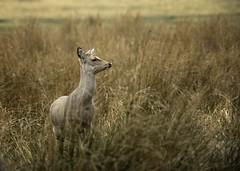 Sika Deer (Mr F1) Tags: grass woods deer dorset grasses wilderness sika sikadeer