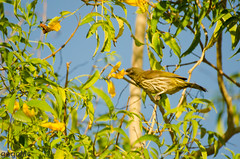Cigua Palmera (Gogolac) Tags: ciguapalmera dulidae palmchat birds aves birdingrd