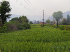 Wheat farm alwar (Tarun Chopra) Tags: gurgaon alwar mywinners powershotsx50hs
