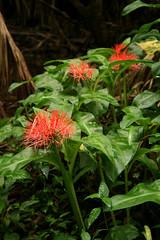 Scadoxus multiflorus (zimpetra) Tags: africa flora uganda amaryllidaceae scadoxus kibaleforest scadoxusmultiflorus africanflora