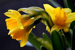 Happy saturday! (Goldy Rose) Tags: flowers flower nature spring daffodils narcis narcissen