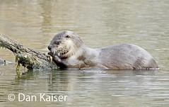 River Otter Eating a Crawfish (dhkaiser) Tags: dan river otter kaiser nwr muscatatuck