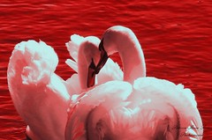 The Loving Swans (Patrizia Ilaria Sechi) Tags: red white lake love nature beautiful birds animals loving message sweet stockholm valentine romance swans passion romantic sugary tender tenderness platinumheartaward ringexcellence