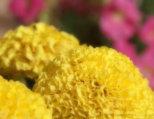 Flower - Yellow Mums
