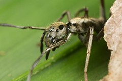 Ant-mimicking spider (Sphecotypus sp.) (pbertner) Tags: macro paul nationalpark rainforest costarica corcovado biodiversity osapeninsula laamistad macrolife 5dmarkii bertner pbertner pbertnerwordpresscom