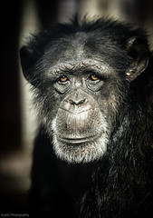SCO1888 [Explored 14/4/2013] (ScottD Photography) Tags: detail face animal closeup zoo eyes nikon sad emotion expression explore ape chimpanzee unhappy primate colchester d800 specanimal