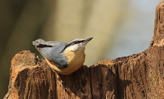Nuthatch (Pog's pix) Tags: park blue bird grey scotland wildlife nuthatch rozelle sittaeuropaea ayrshire countrypark sitta passerine rozellecountrypark