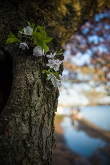 Walking Away (Tony DeFilippo) Tags: flowers nature dc washington cherryblossoms