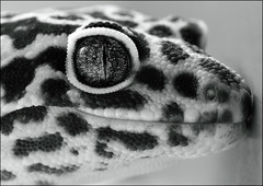 Screech, dedicated to Five Sisters Zoo (Pog's pix) Tags: portrait blackandwhite pet macro eye monochrome closeup reptile spots spotty scales gecko captive potrait pupil screech leopardgecko eublepharismacularis slitpupil emacularis