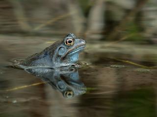 Common frog (Rana temporaria), Parc du Rouge-Cloître, Brussels