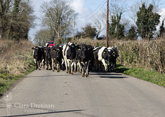 Cows day out in Timahoe (Ciara Drennan) Tags: road ireland irish cows farming agriculture herding laois irishcountryside farminglife