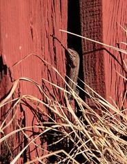 109 av 365 (Yvonne L Sweden) Tags: sweden lizzard ödla kavat skogsödla 365foton 3652013