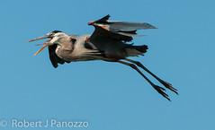 Can You Hear Me Now (ChicagoBob46) Tags: bird heron greatblueheron rookery veniceareaaudubonsocietyrookery