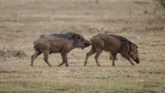 _04C4633 (Richard Denyer) Tags: mating wildboar bandhavgarhnp