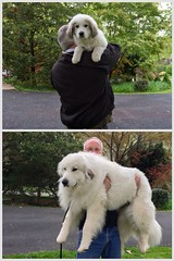 One year (POOLEworks | roger) Tags: dog me greatpyrenees