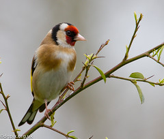Goldfinch {Explored} (Danny Gibson) Tags: bird nature birds wildlife goldfinch birding finch finches birdwatching birder avian birdwatcher rspb dgpixorguk
