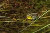 Uncommon Yellowthroat (VinceF2010) Tags: halifax day52 201607eastcoast uncommonyellowthroat
