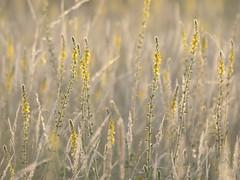 Les épis jaunes * (Titole) Tags: wildflowers titole nicolefaton yellow grasses graminée aigremoine agrimoniaeupatoria friendlychallenges
