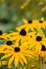 ckuchem-2262 (christine_kuchem) Tags: blte blten garten gartenstaude naturgarten rudbeckia sommer sommerblumen sommerstaude sonnenhut staude stauden staudengarten gelb gelbersonnenhut naturnah natrlich