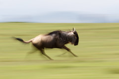 Wildebeest in flight (Rodney Topor) Tags: longexposure art nature animal kenya wildlife impressionism gnu wildebeest lakenaivasha crescentisland africal