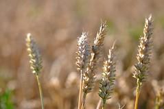 DSC_0637 (Marlon Fried) Tags: macro makro wheat crops grain cereals field