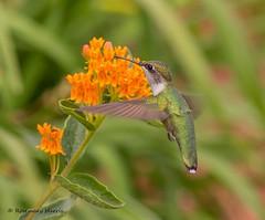 Ruby-throated Hummingbird at Butterfly Weed. (rosemaryharrisnaturephotography) Tags: rubythroatedhummingbird rubythroated hummingbird butterflyweed asclepiastuberosa garden haliburton ontario rosemaryharris ngc coth