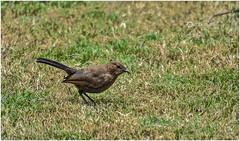 'The early bird gets the worm.' (Ramalakshmi Rajan) Tags: inmygarden nikond5000 nikkor55200mm birds bird nikon ramalakshmirajan nature