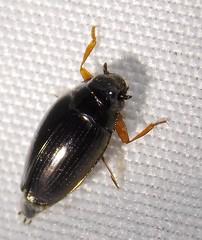 Whirligig Beetle (Keith Roragen) Tags: colorado insect coleoptera beetle whirligigbeetle gyrinidae gyrinus