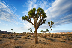 Desert Remedy (Brian Truono Photography) Tags: california hdr highdynamicrange joshuatree joshuatreenationalpark mormon nps nationalpark nationalparkservice cactus clouds desert dry dusk evening exposureblending landscape natives nature park plants rocks sillouette sky southwest sun sunset tree trees yucca twentyninepalms unitedstates us