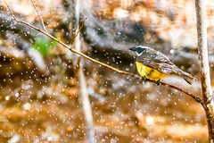 Social Flycatcher (Mario Arana G) Tags: 7d ave bird cr canon costarica florayfauna guanacaste marioarana mosquiterocejiblanco naturephotography socialflycatcher wildlife wildlifecostarica