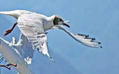 Mouette (laurent KB) Tags: lacdecme bellagio italy italie mouette oiseau