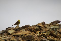A rock with a view (Explored) (JulieK (finally moved to Wexford)) Tags: inexplore yellowhammer bird stones nature fauna rocks canonixus170 2016onephotoeachday wexford ireland irish been
