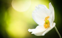 Anemone (xipevideo) Tags: beyondbokeh anemone white flower dof nikon d600 105mm garden summer