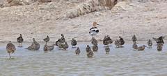 Stilt Sandpiper, Salton Sea, Imperial, California (Terathopius) Tags: saltonsea sonnybono imperialcounty california usa stiltsandpiper calidrishimantopus