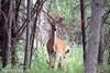Mom & Little Ones (jimgspokane) Tags: deer wildlife washingtonstate spokanewashingtonstate forests otw