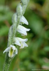 Kent's Autumn Lady's Tresses - Spiranthes spiralis (favmark1) Tags: spiranthesspiralis autumnladystresses kentorchids wildorchids britishorchids kent orchids