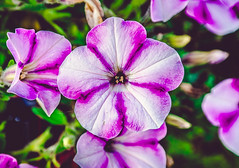 Bloom of flower (Monika ukauskyt) Tags: flower bloom blossom plant purple pink greenbackround green bokeh colourful beautiful