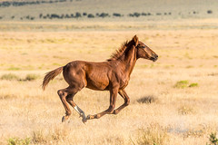 Young Wild Colt (Just Used Pixels) Tags: wildhorses utah desert colt